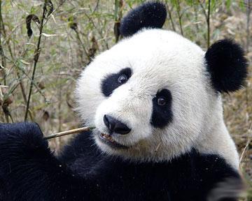 Панда рисунок.jpg